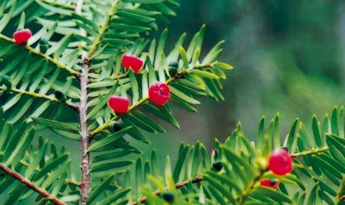 雲南紅豆杉